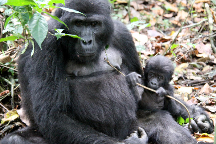 Gorillas on Uganda Delight Safari